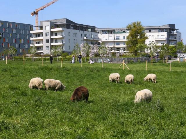 Les moutons sont à la Pilate