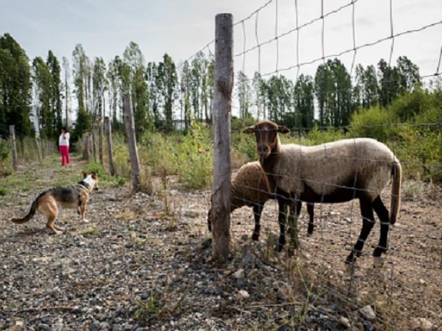 Les moutons sont de retour à la Pilate !